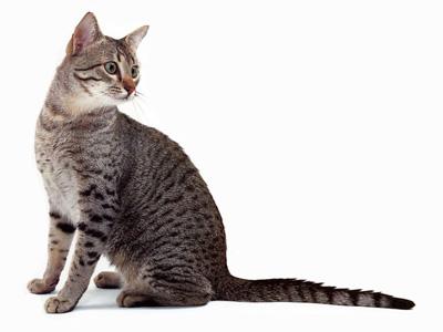 لیزر گربه