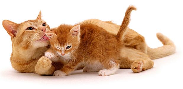 مالت گربه