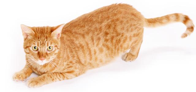برس گربه